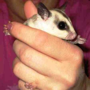 Hand Raised Sugar Gliders