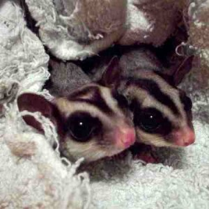 A pair of Sugar Gliders