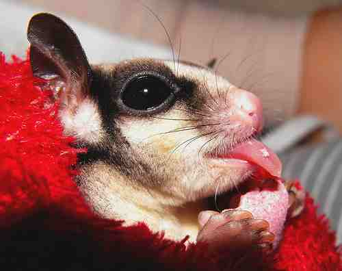 sugar glider diet in captivity