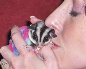 Sugar Gliders As Pets