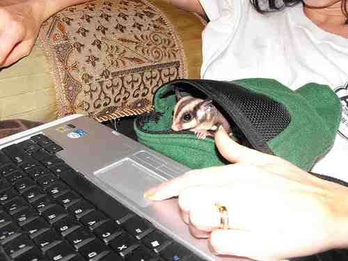 Sugar Glider on the keyboard